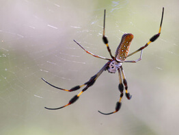 golden-silk-spider-2